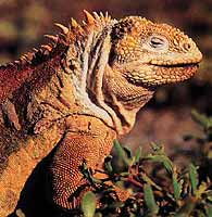 Galapagos Land Iguana