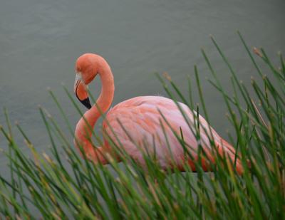galapagos wildlife flamingo