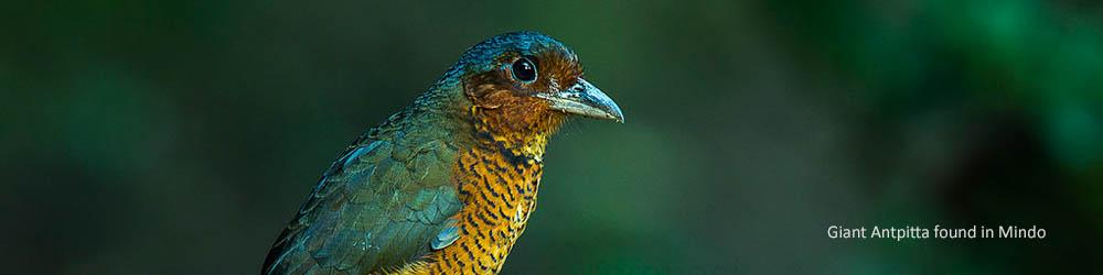 giant-antpitta-bird-mindo-ecuador