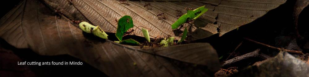leaf-cutting-ants-mindo-ecuador