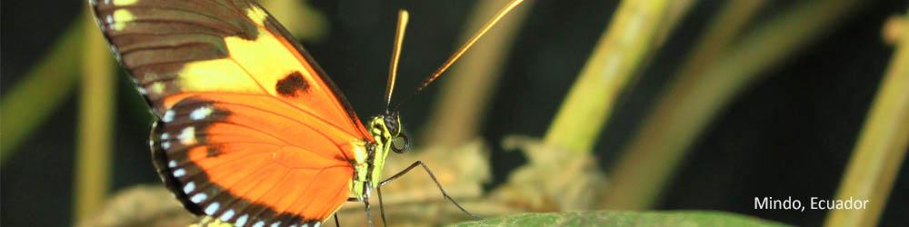 butterfly-nature-mindo-ecuador